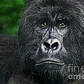 Portrait Of A Wild Mountain Gorilla Silverbackhighly Endangered by Dave Welling