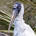 Portrait Of A Woodstork by Rodney Cammauf
