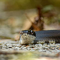 Portrait Of A Young Black Rat Snake by Rebecca Sherman
