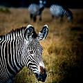 Portrait Of A Zebra by Jim DeLillo