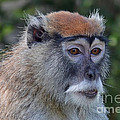 Portrait Of An Adult Patas Monkey II by Jim Fitzpatrick