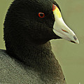 Portrait Of An American Coot by Robert Frederick