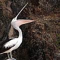 Portrait Of An Australian Pelican by Paul Fell