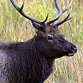 Portrait Of An Elk by Karen Lee Ensley
