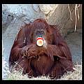 Portrait Of An Orangutan by Debbie Nobile