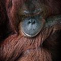 Portrait Of An Orangutan by Zoe Ferrie