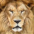 Portrait Of Beautiful African Lion by Aleksandar Mijatovic
