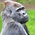Portrait Of King Kongs Cousin II by Jim Fitzpatrick