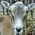 Portrait Of Mouflon Ewe by Lingfai Leung