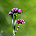 Portrait Of Purple Verbena by Karen Adams