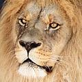 Portrait Of The Lion by David G Paul