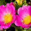 Portulaca Flower by Millard H. Sharp