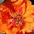 Portulaca Named Sundial Tangerine by J McCombie