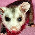 Poser Possum by Art Dingo