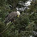Posing Bald Eagle by Tom Slater