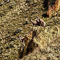 Posing Bighorn Sheep by Robert Bales
