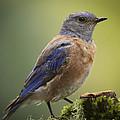 Posing Bluebird by Jean Noren