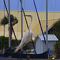 Posing Egret by Debra Forand