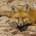 Posing Fox Pup by Amazing Jules