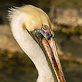 Posing Pelican by Allen Sheffield