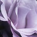 Posing Purple Rose Flower by Jennie Marie Schell