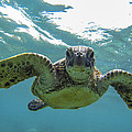 Posing Sea Turtle by Brad Scott