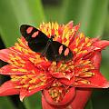 Postman Butterfly by Melvin Busch