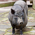 Potbelly Pig Standing by Pati Photography