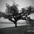 Potomac Tree by Jost Houk