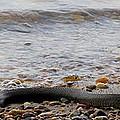 Potomac Water Snake by Joshua Bales