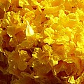 Poui Flowers by Amar Sheow
