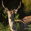 Powderham Deer  by Rob Hawkins
