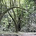 pr 136 - Bowed Tree by Chris Berry