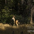 pr 140 -Deer in the Grass by Chris Berry