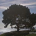 pr 216- Black Oak by Chris Berry