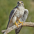 Praire Falcon On Dead Branch by Anthony Mercieca