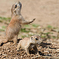 Prairie Dog Alarm by Chris Scroggins