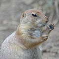 Prairie Dog Cleaning His Teeth by Richard Bryce and Family