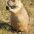 Prairie Dog Feeding On The Meadows At The Devil's Tower by Alex Cassels