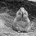 Prairie Dog by Lisa Thomas