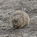 Prairie Dog Lunch by Steve Triplett