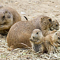 Prairie Dog Picnic by Chris Scroggins