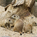 Prairie Dog Pups by Chris Scroggins