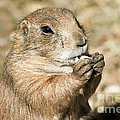 Prairie Dog by Teresa Zieba