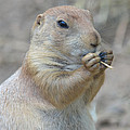 Prairie Dog Treat by Richard Bryce and Family