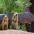 Prairie Dogs In Bryce by Joan Wallner