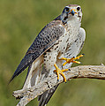 Prairie Falcon by Anthony Mercieca