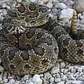 Prairie Rattlesnake South Dakota Badlands by Bob Christopher