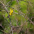 Prairie Warbler by Bill Wakeley
