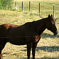 Prarie Stallion In The Shade by Barbara Griffin